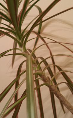 palm-ish-looking-tree-green-and-purple-ish-leaves-21737430 Palm Looking House Plant on palm like plant thin leaves, spider mites on palm plant, palm house plant identification, palm plants care of,