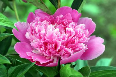 Beautiful frilly Peony