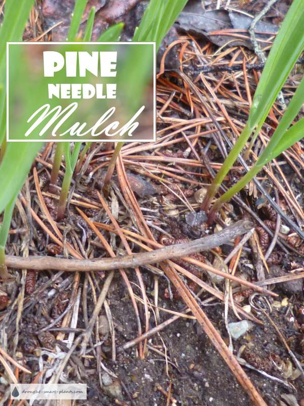 Pine Needle Mulch Pros And Cons For A Natural Mulch Material