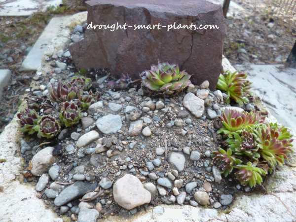 The red shale is a focal point, planted around with Sempervivum