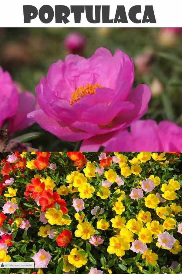 Portulaca, the Sunrose