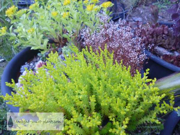 These clumps of hardy succulents can be propagated to make many more plants