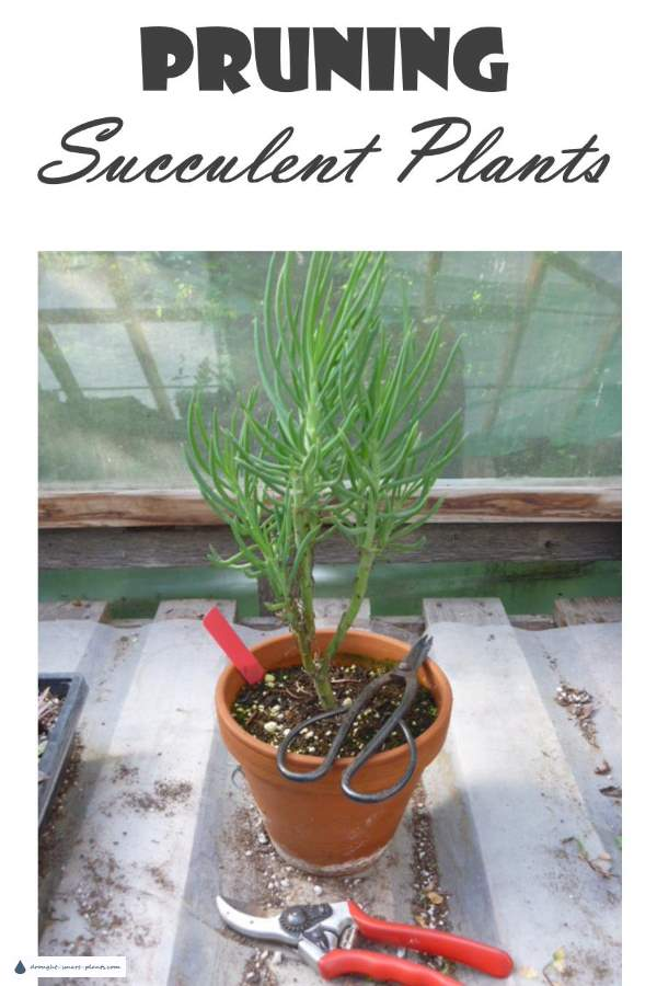 Pruning Succulent Plants - shaping, propagation or disease control