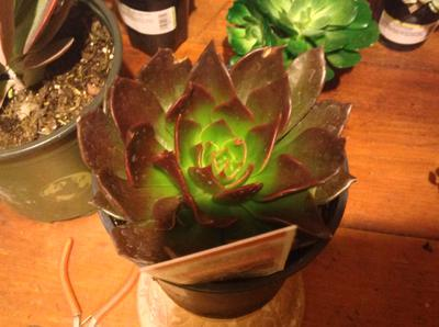 Anyone know this succulent please?