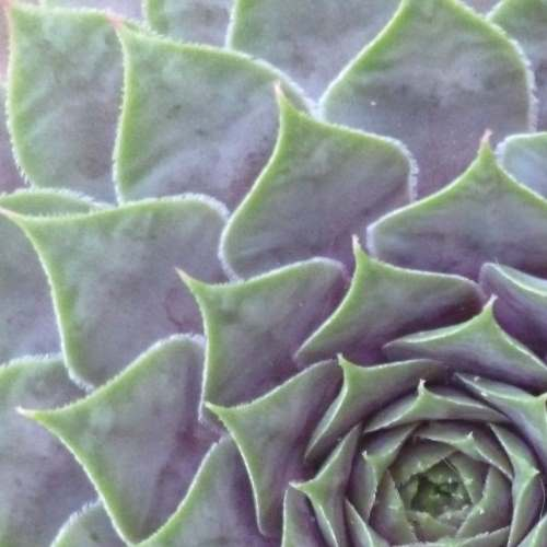 Sempervivum Gallery 1