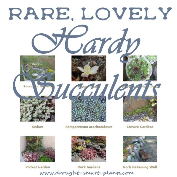 Rare, Lovely Hardy Succulents