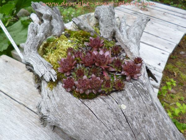 Red Sempervivum glow in the root turned planter...