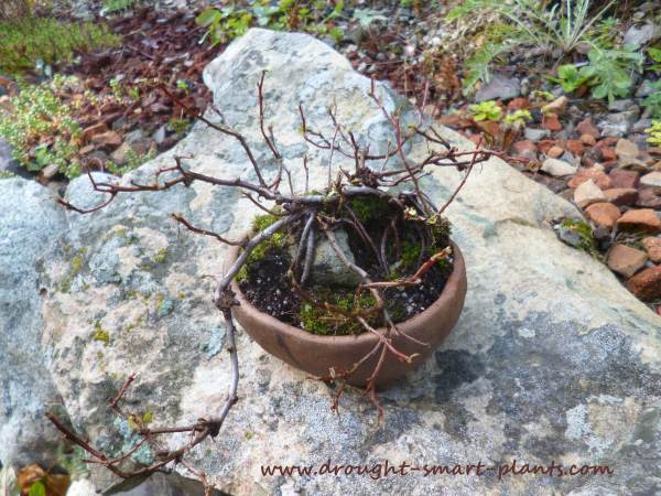 Deciduous bonsai are grown mostly for their winter silhouette of fine branches