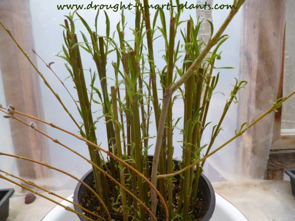 Rooted in just a few weeks, the willow cuttings will start to sprout...