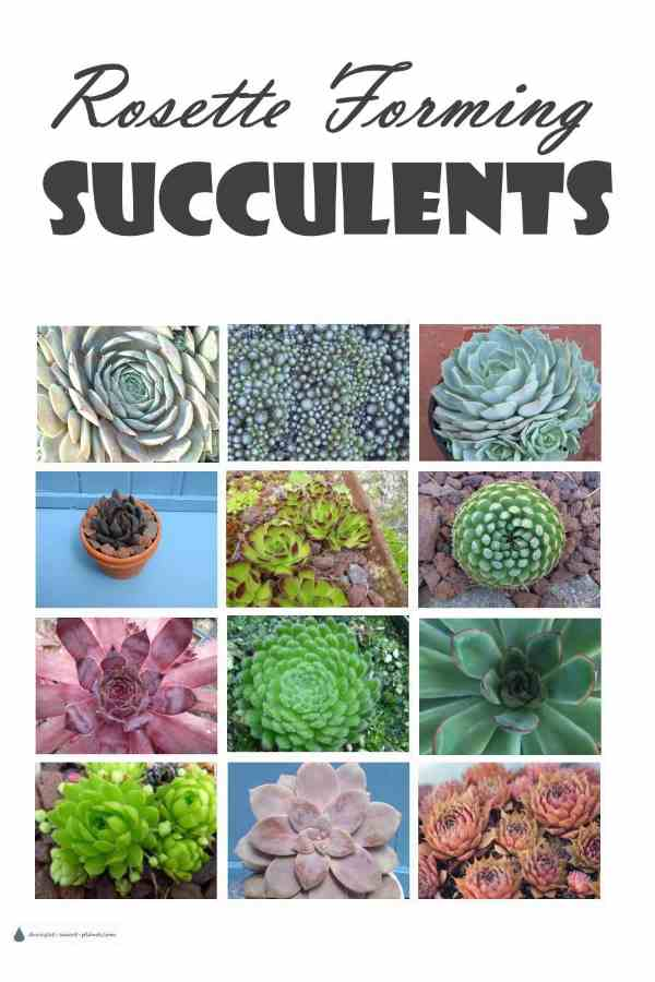 Rosette Forming Succulents
