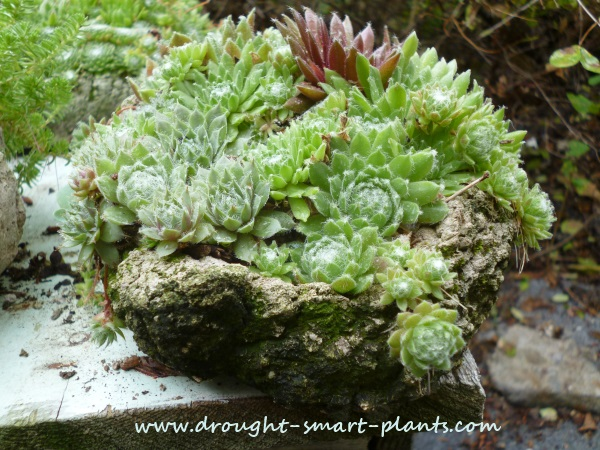 The textures and colors of mixed Sempervivum and Sedum are astonishing...