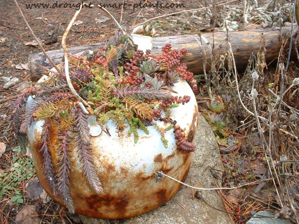 Old kettles make great planters to decorate your junk garden...see more Containers for Succulents here...