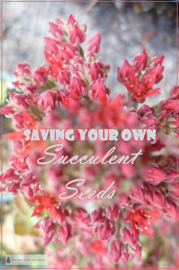 Save Your Own Succulent Seeds...