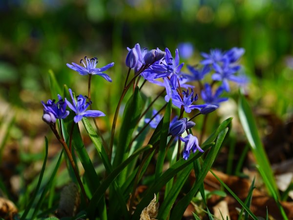 Spring flowering bulbs plan ahead for spring color over the next few months once the snows gone daffodils are next then some of the other smaller types of flowering bulbs like chionodoxa glory of the mightylinksfo