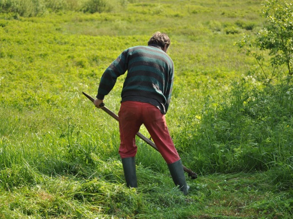 Scything meadow grass