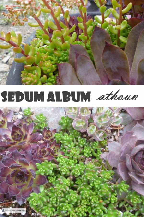 Sedum album 'Athoun' - white stonecrop with attitude...