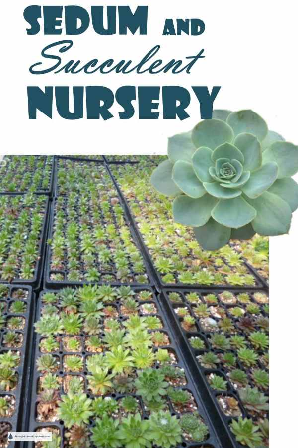 Sedum and Succulent Nursery - growing my favorite plants