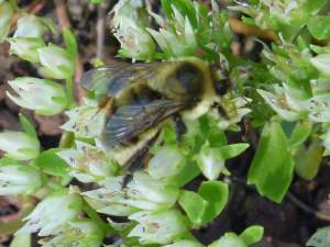 Sedum spurium album 'Superbum' attracts the most of these wild bees