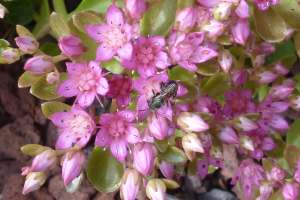 Sedum spurium 'John Creech' with small wild bee