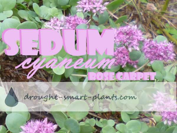 Sedum cyaneum 'Rose Carpet' is where it all started; my collection was kick started by this little gem of a stonecrop...