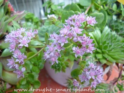 Sedum cyaneum 'Willy Bellot' in bloom - pretty in pink!
