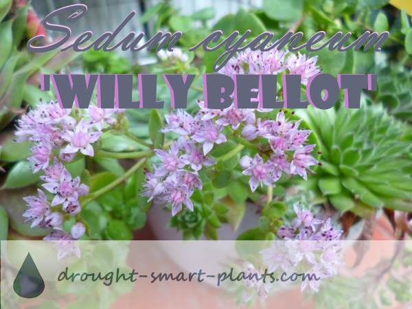 Sedum cyaneum 'Willy Bellot' is one of my new Stonecrops, but shows a lot of promise for planting in containers and small gardens.