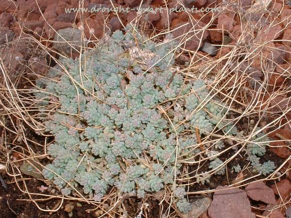 Sedum dasyphyllum just starting into growth in April