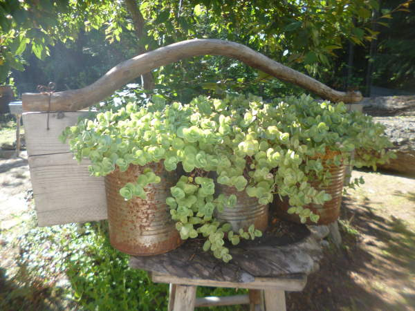 Planted into containers, Sedum ewersii is so drought tolerant!