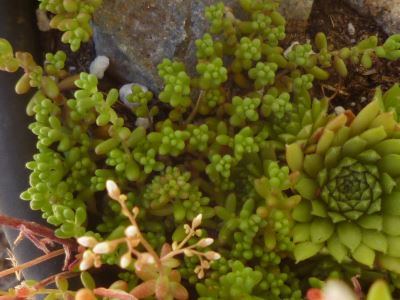 Sedum album 'Faro Form' - tiny and well behaved...