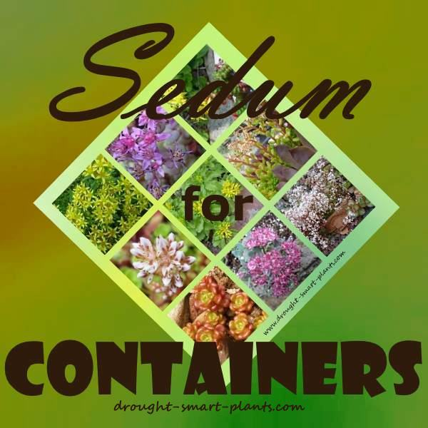 Sedum in Containers - some choices...there are many, many different ones to choose from...