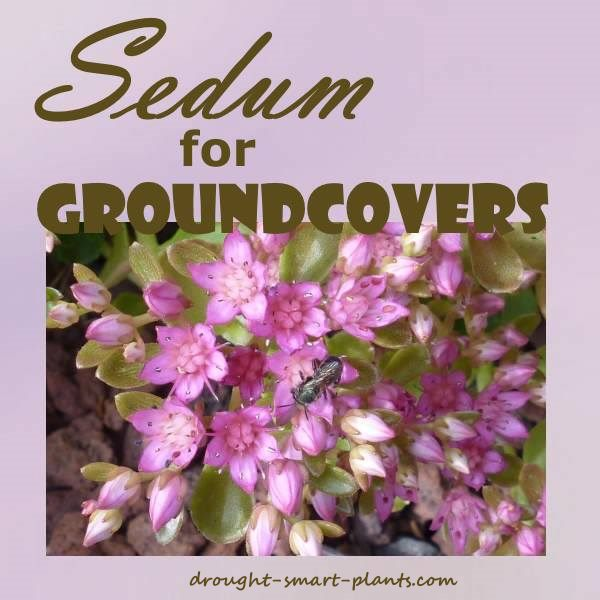 Sedum for Groundcovers