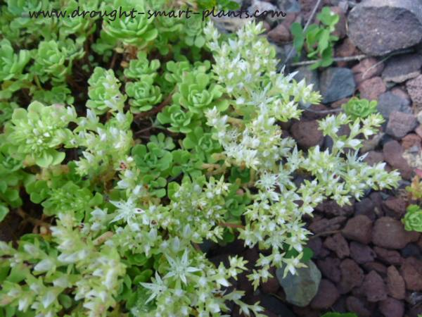 Sedum glaucaphyllum in full bloom...