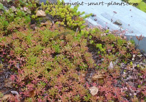 Sedum kamschaticum in fall - pretty pink blushed foliage...