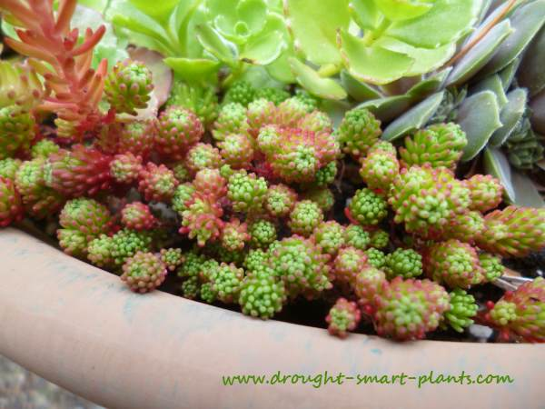 Pink blushed tiny foliage is a true garden treat on Sedum lydium...