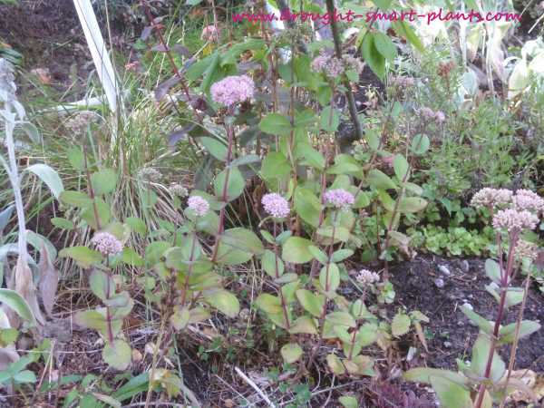 Sedum matrona - an unusual and different stonecrop - see more here...
