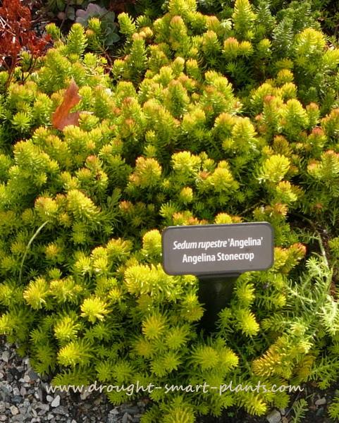 It's obvious why Sedum 'Angelina' is such a favorite...
