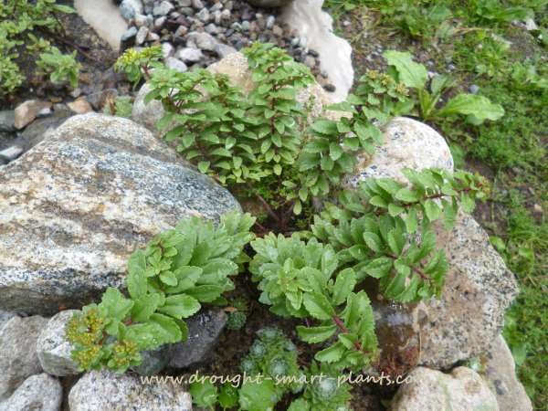Sedum selskianum - looking like a little tree...