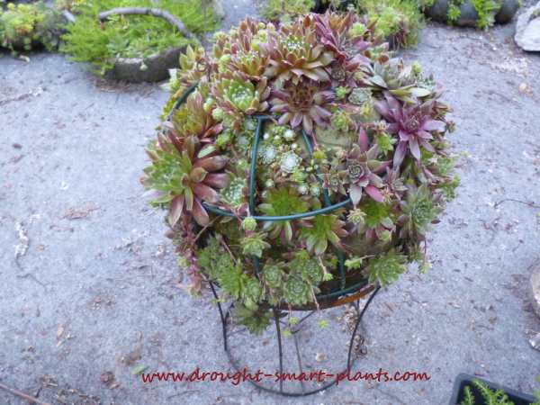 August is when the Sempervivum show their true colors...