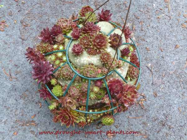 Filling in with more chicks, the Sempervivum globe will finally be complete...