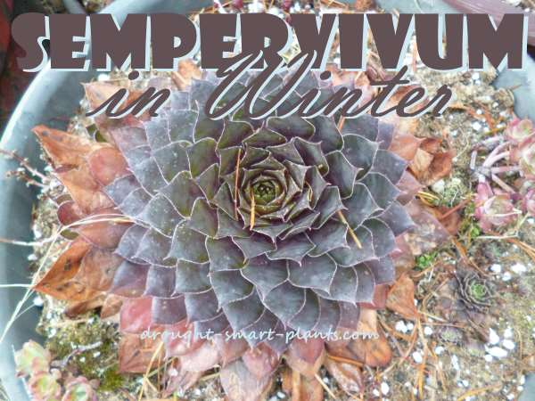 Sempervivum in Winter have a whole different look; don't worry, they're not dead, just dormant and resting...