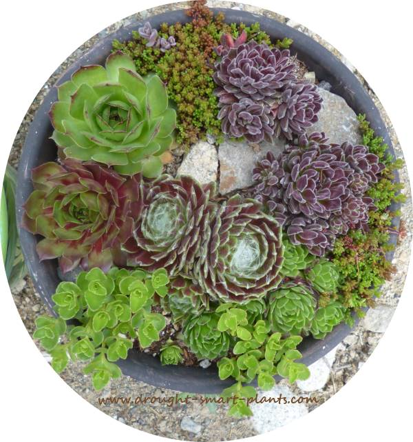 Rich, textural hardy succulents, Sempervivum are one of the most intriguing and beautiful of all...