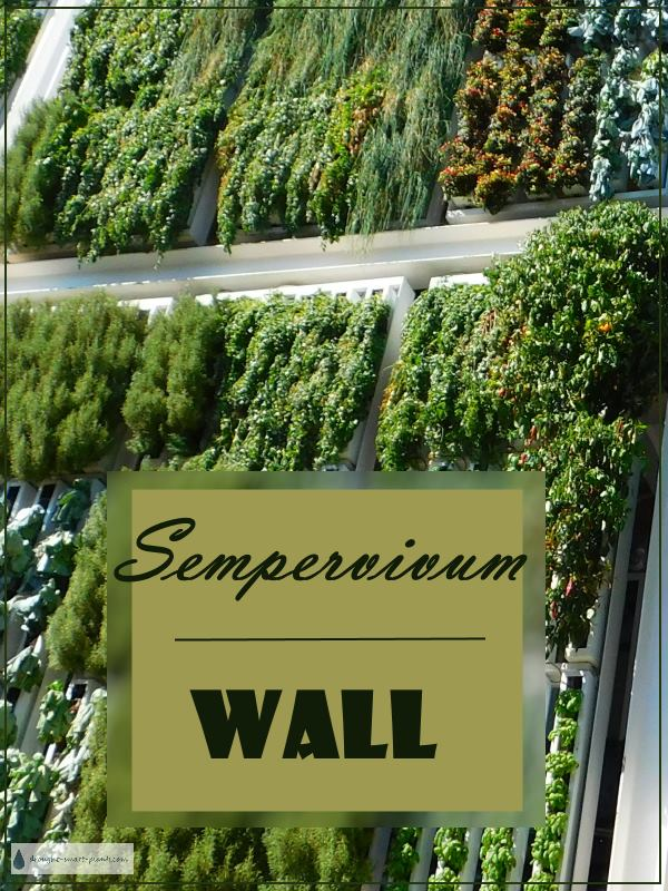Sempervivum Wall