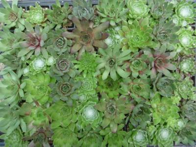 An Example of the Perfect Sempervivum Wedding Favor Plugs