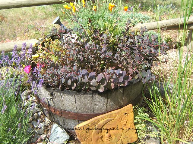 Sensible Gardening and Living shows off some rustic barrels chock full of Sedum...