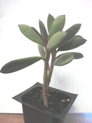 spear shaped leaf succulent