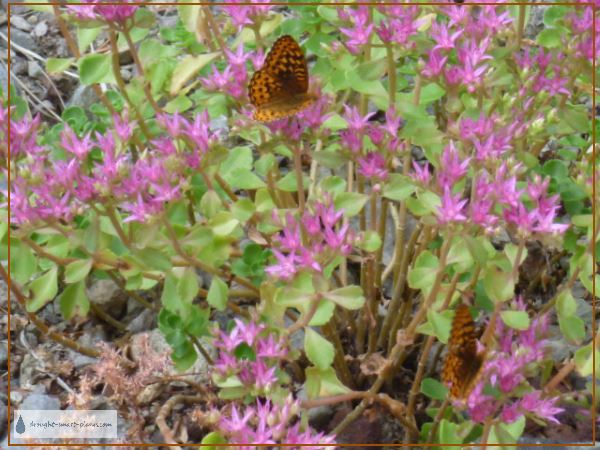 Speyeria cybele - the Great Spangled Fritillary