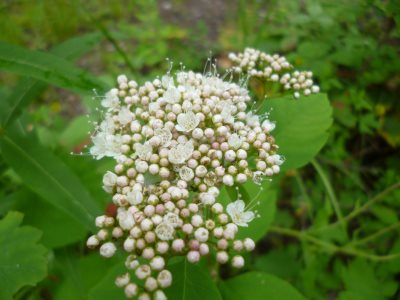 Spiraea betulifolia, Birch Leaved Spirea