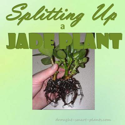 Splitting up a Jade Plant