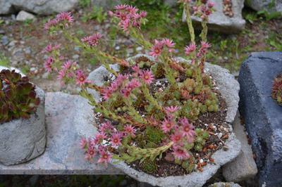 Sempervivum colony flowering