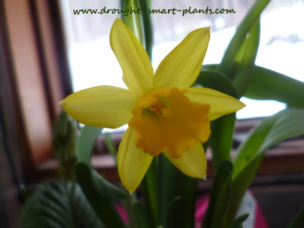 Small varieties of Daffodils like Tete a Tete are a good choice...